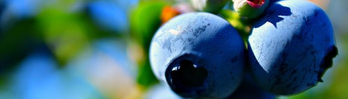 More blueberries for the health of heart, gut and brain