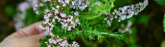 Con le erbe aromatiche la salute è servita