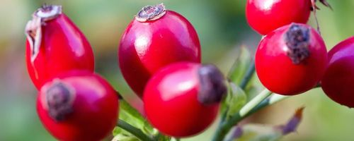 Dog rose counteracts infections
