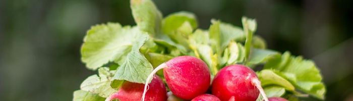 Leaves…of red radish, a powerful source of health
