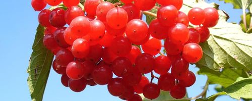 Cranberry, the berry against cystitis