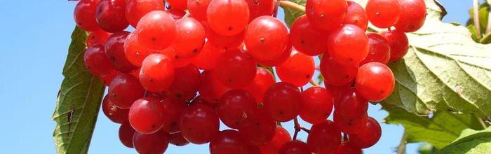 Cranberry, il mirtillo americano contro la cistite