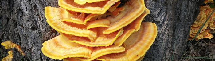 A mushroom can be a remedy for obesity