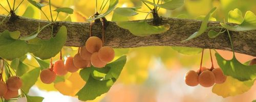 Ginkgo biloba, a possible aid against Alzheimer?
