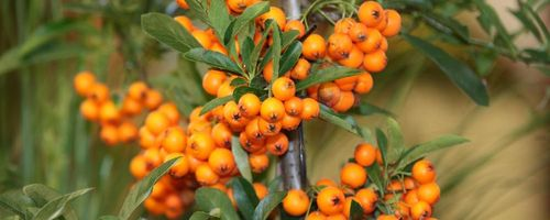 Sea buckthorn for the health of the immune system and the heart