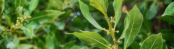 Laurel essential oil