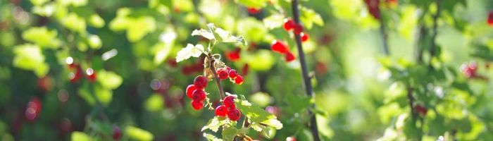 Vegetable garden, health and relax Part 6, gooseberry, red currant and coriander