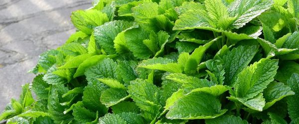 Natural cosmetics, like kings and queens Part 26, the divine lemon balm