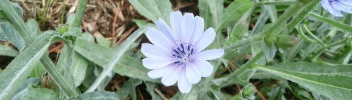 Common chicory, mother tincture and herbal tea