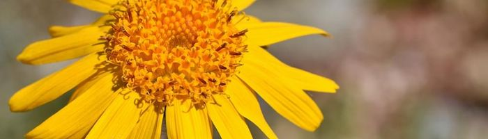 Arnica, infused oil and cream