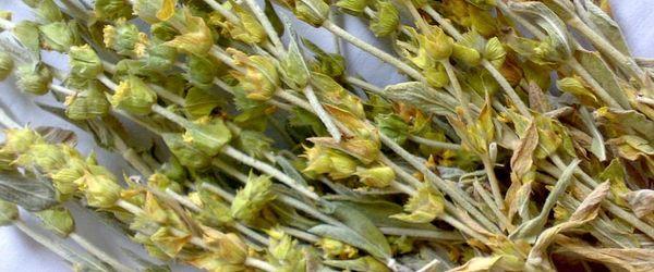 Tè di montagna (syderitis syriaca)