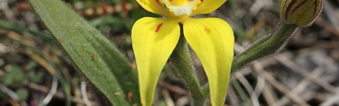 Yellow cowslip orchid