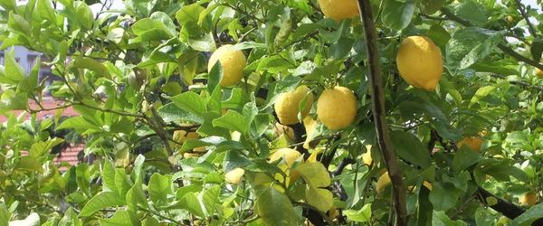 Limone, macerato glicerico