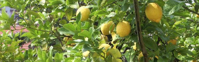 Lemon, glycerine macerate