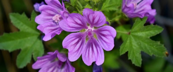 Mallow, the plant that cures all ailments