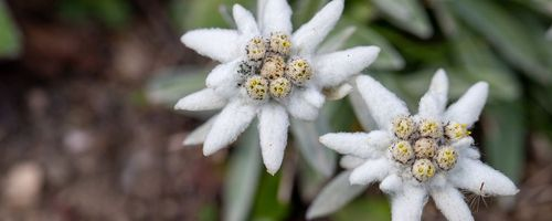 Edelweiss, the queen of the mountains