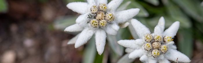 Natural cosmetics, like kings and queens Part 50, edelweiss, the queen of the mountains