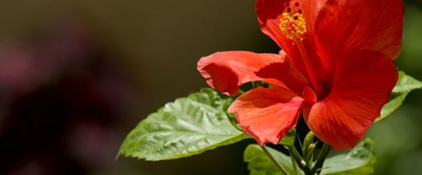 Hibiscus protects the kidneys, even in the presence of metabolic syndrome
