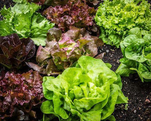 Eine Substanz, die in grünem Blattgemüse enthalten ist, schützt die Gesundheit der Darmmikrobiota