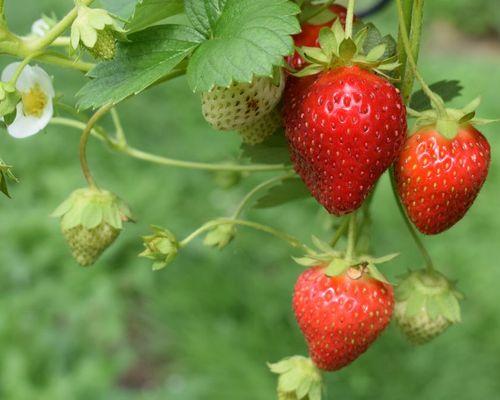 Erdbeeren verbessern Gedächtnis und Lernen