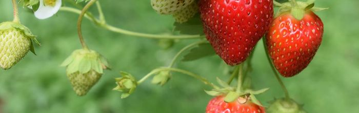 Strawberries improve memory and learning