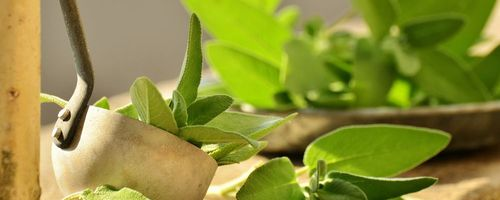 Sage, properties and uses in the kitchen