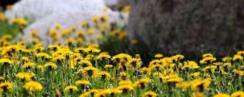 Tarassaco, la pianta magica dai mille usi