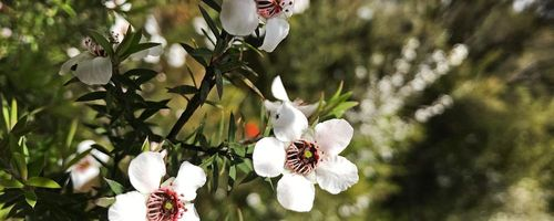 Olio essenziale di manuka, dalla nuova Zelanda il rimedio anti age, antibatterico e antivirale