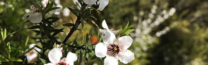 Manuka essential oil, from New Zealand the anti-aging, antibacterial and antiviral remedy
