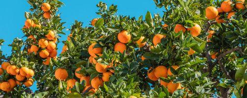 Arancio, foglie, fiori e scorza del frutto