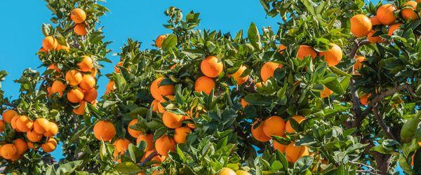 Orange, Blätter, Blüten und Fruchtschale