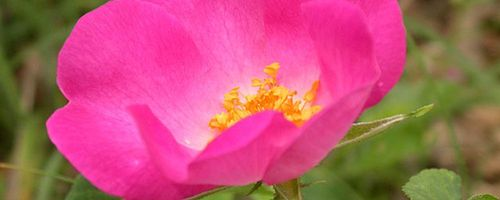 Rote Rose, die Königin der Blumen