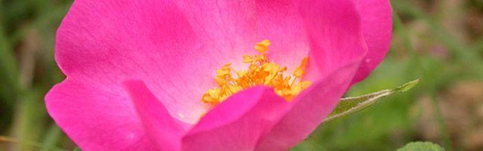 Rosa rossa, la regina dei fiori