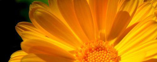 Slow cosmetique, common marigold, the bride of the sun
