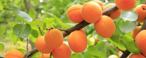 Aprikosen, die Frucht, die Alexander dem Großen geliebt hat