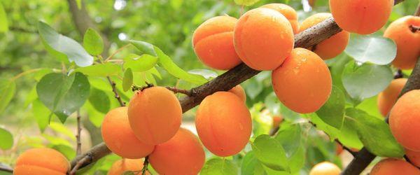 Albicocche, i frutti amati da Alessandro Magno