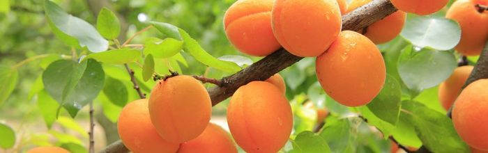 Apricots, the fruit loved by Alexander the Great