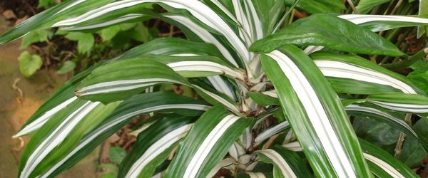 Anti-pollution plants, the Dracaena Deremensis Warneckii or trunk of happiness
