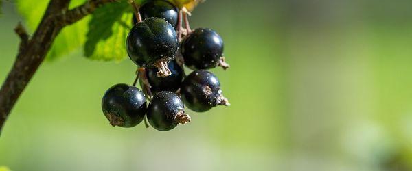 Blackcurrant and beetroot juice to reduce waistline, cholesterol, blood pressure and blood sugar