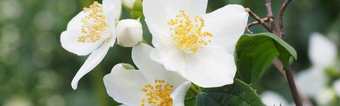Jasmine tea, the tea with a heavenly aroma