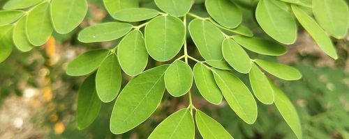 Moringa, the elixir of life for a young and radiant skin