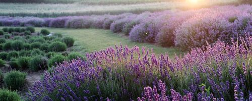 Less stress, more memory and attention with lavender essential oil and an afternoon nap