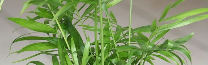 Bamboo palm, the anti-pollution plant, source of health and a touch of charm for any environment
