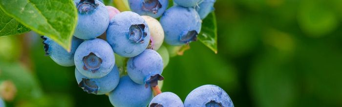 Blueberries, the blue that cures