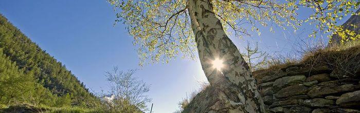 Olio essenziale di betulla, l'essenza del rinnovamento