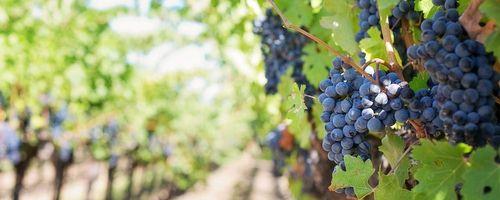Uva, il frutto amato da Dioniso che fa ringiovanire corpo e mente