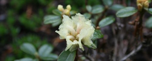 Rhododendron essential oil, the balsamic essence that protects the airways and brings a good mood