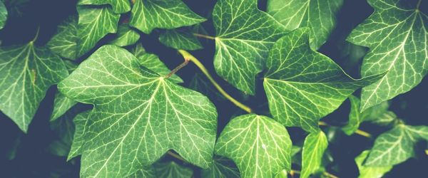 Ivy, to clear the respiratory tract and counter cough, bronchitis and colds