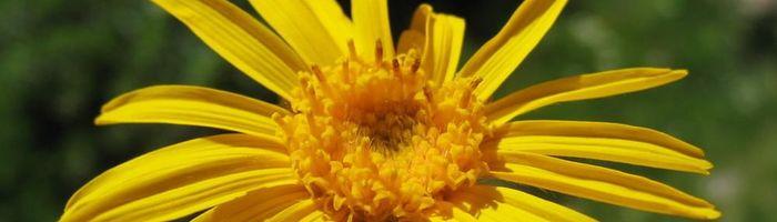 Cosmetici naturali, come re e regine Parte 38, arnica, la figlia del sole