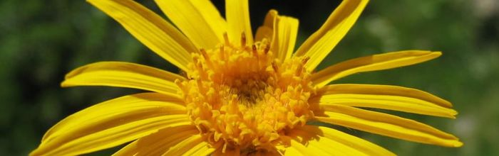 Natural cosmetics, such as kings and queens Part 38, arnica, the daughter of the sun